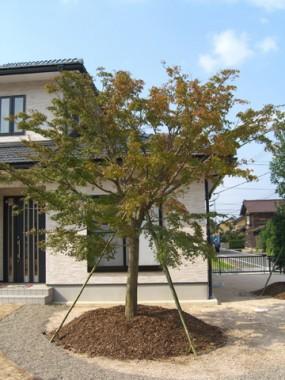 モッコクの木が出迎えてくれるお庭 2