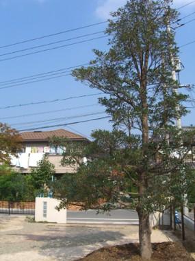 モッコクの木が出迎えてくれるお庭 3