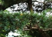 松の芽摘み(みどり摘み)